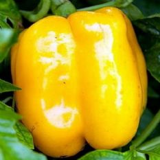 Sweet Pepper Golden Californian 40 seeds / 180 seeds
